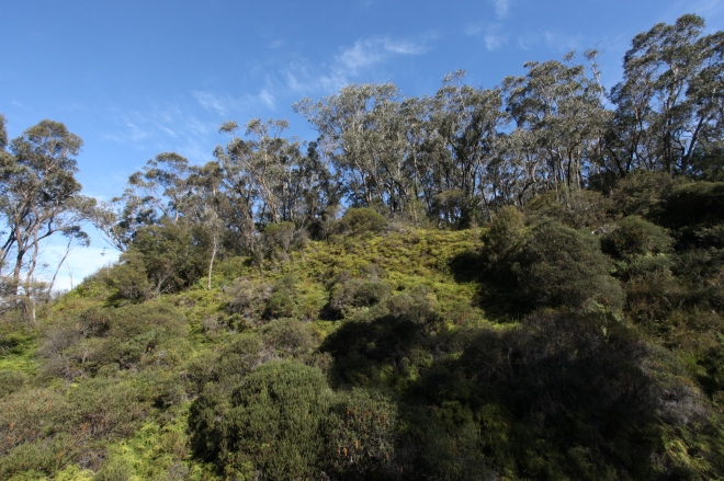 Eucalypt hill side with fern understory