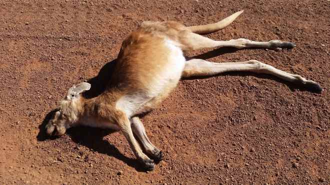 Kangaroo roadkill. This was one of the nicest looking ones...