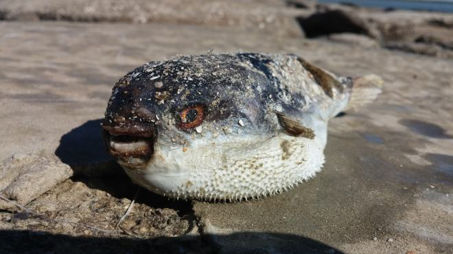 Dead pufferfish found in Karumba