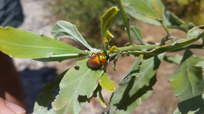Harlequin beetle. Stunning!