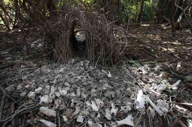 Bower built by a bower bird. The male makes a little hut of twigs, then collects as of lots white and green colored objects to impress the female. Notice the bones, teeth and vertebrae.