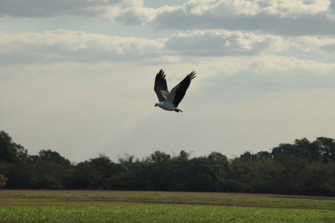 White-bellied sea eagle. He swooped down in front of us, grabbed a turtle, and flew of with it in its talons!