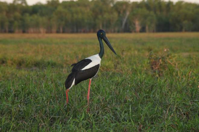 Female Jabiru (stork) landed right in front of the boat as the sun was setting