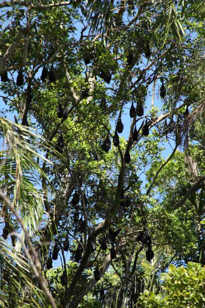 Fruit bats hanging around, sleeping. There were hundreds!