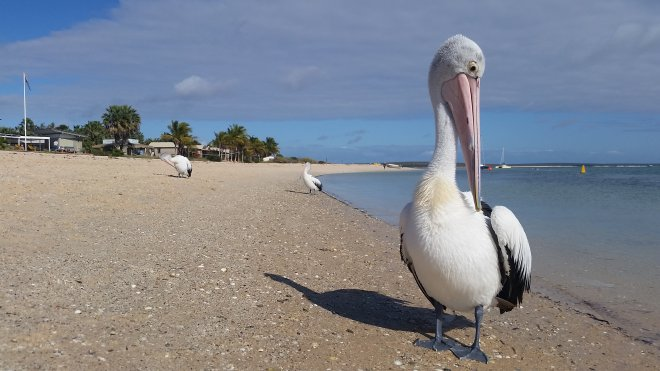 Australian pelicans waiting for their share of fish