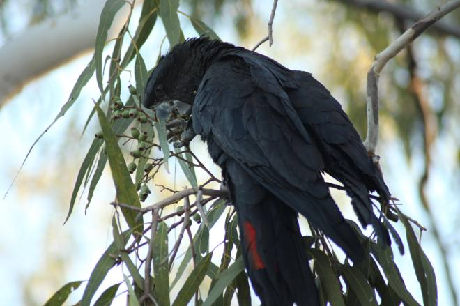 Red-tailed Black Cockatoo eating eucalypt nuts