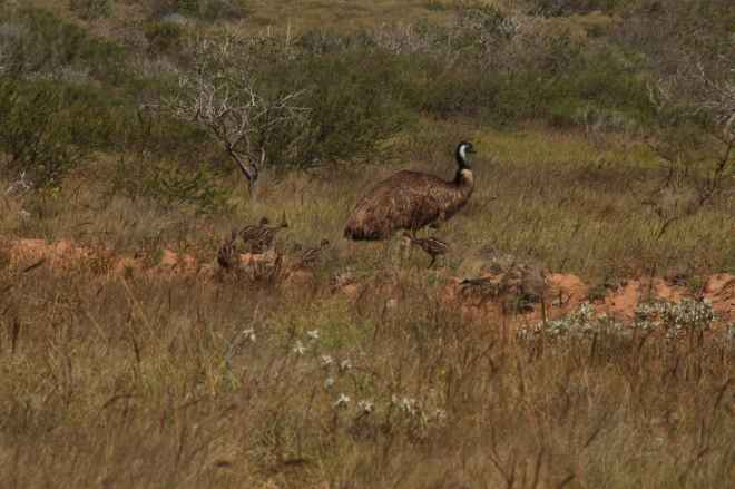 Male emu with chicks!