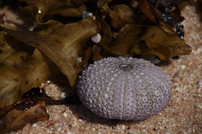 Urchin shell with seaweed