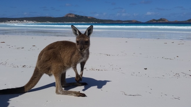 Kangaroo in Lucky Bay
