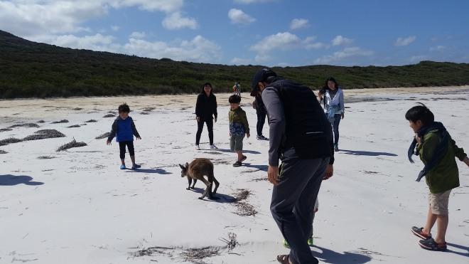Kangaroo mob