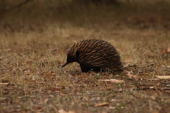 Echidna, being cute as a button.