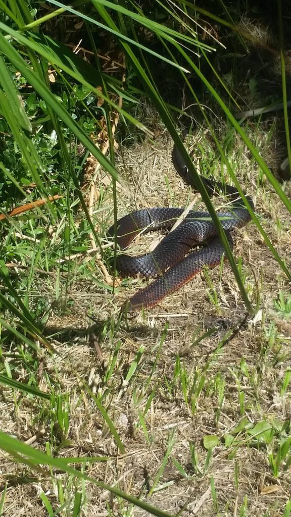 Red-Bellied Black Snake - highly venomous!