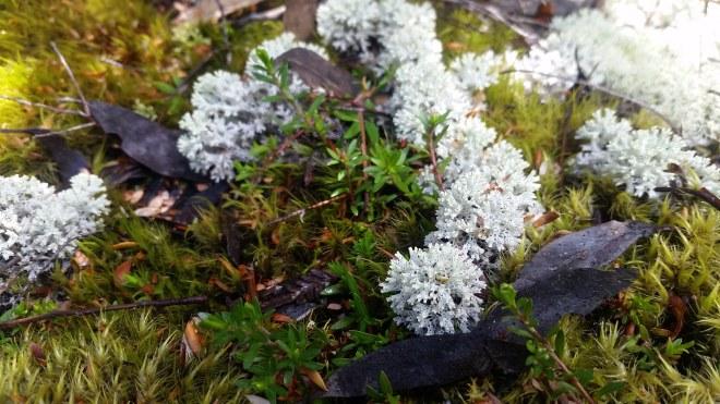 Mossy lichens