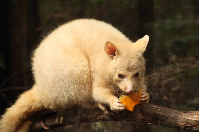 Golden possum eating pumpkin