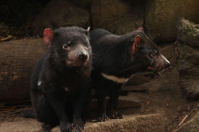 Tasmanian devils, sisters.